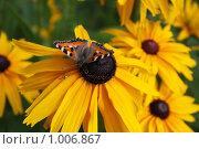 Июльские цветы. Рудбекия. Бабочки. Стоковое фото, фотограф Елена Колтыгина / Фотобанк Лори