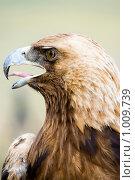 Купить «Беркут. Aquila chrysaëtos», фото № 1009739, снято 17 июня 2009 г. (c) Александр Подшивалов / Фотобанк Лори