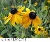 Купить «Желтые ромашки», фото № 1010719, снято 25 июля 2009 г. (c) Neta / Фотобанк Лори
