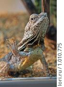 Купить «Плащеносная ящерица», фото № 1010775, снято 30 июля 2009 г. (c) Ольга Шаран / Фотобанк Лори