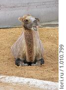Купить «Верблюд», фото № 1010799, снято 30 июля 2009 г. (c) Ольга Шаран / Фотобанк Лори