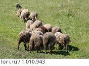 Бараны. Стоковое фото, фотограф Андрей Сверкунов / Фотобанк Лори