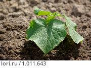 Молодой росток огурца. Стоковое фото, фотограф Алексей Баранов / Фотобанк Лори