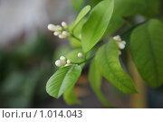 Купить «Цветущее цитрусовое дерево», фото № 1014043, снято 21 июля 2009 г. (c) Евгений Батраков / Фотобанк Лори