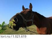 Купить «Лошадиная морда», фото № 1021619, снято 1 августа 2009 г. (c) Яна Королёва / Фотобанк Лори