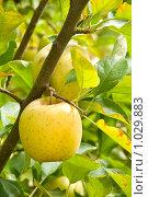 Купить «Желтое яблоко сорта Голден Делишес на ветке», фото № 1029883, снято 18 октября 2008 г. (c) Ирина Кожемякина / Фотобанк Лори