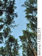 Купить «Сосны и голубое небо», фото № 1032311, снято 16 июля 2009 г. (c) Сергей Галушко / Фотобанк Лори