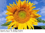 Купить «Подсолнух под солнцем», фото № 1032531, снято 1 августа 2009 г. (c) Александр Гаврилов / Фотобанк Лори