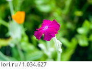 Розовый / фиолетовый цветок. Стоковое фото, фотограф Ilogin / Фотобанк Лори