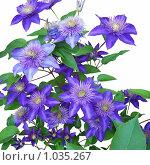 Фиолетовые цветы. Стоковое фото, фотограф Алина Русакова / Фотобанк Лори