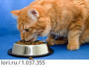 Купить «Курильский бобтейл», фото № 1037355, снято 23 марта 2009 г. (c) Asja Sirova / Фотобанк Лори