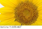 Купить «Подсолнух», фото № 1039467, снято 15 августа 2009 г. (c) Сергей Галушко / Фотобанк Лори