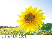 Купить «Подсолнух», фото № 1040579, снято 9 августа 2009 г. (c) Иванюшин Виталий / Фотобанк Лори