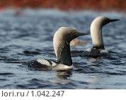 Купить «Чернозобая гагара», фото № 1042247, снято 15 августа 2009 г. (c) Максим Деминов / Фотобанк Лори