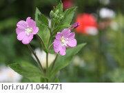 Лютики цветочки у меня в садочке. Стоковое фото, фотограф ПАВЕЛ ЧУПРИНА / Фотобанк Лори