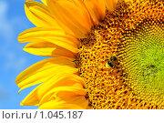 Купить «Шмель и подсолнух», фото № 1045187, снято 1 августа 2009 г. (c) Александр Гаврилов / Фотобанк Лори