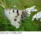 Купить «Бабочка аполлон на белом цветке. Вид сбоку. Макро.», фото № 1045275, снято 24 июля 2009 г. (c) Дживита / Фотобанк Лори