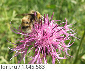 Пчела на репейнике. Стоковое фото, фотограф Винокурова Татьяна / Фотобанк Лори