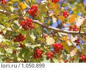 Осенний боярышник. Стоковое фото, фотограф Мамылин Антон / Фотобанк Лори