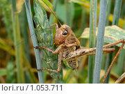 Саранча на пшенице. Стоковое фото, фотограф Fedor Mustaev / Фотобанк Лори
