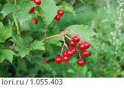 Купить «Калина красная», эксклюзивное фото № 1055403, снято 1 августа 2009 г. (c) lana1501 / Фотобанк Лори