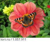 Бабочка крапивница на розовом георгине. Стоковое фото, фотограф Iv Merlu / Фотобанк Лори