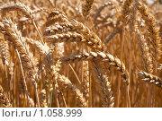 Купить «Колосья пшеницы на поле», фото № 1058999, снято 27 июля 2009 г. (c) Архипова Мария / Фотобанк Лори