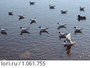 Чайки на воде. Стоковое фото, фотограф Татьяна Иванова / Фотобанк Лори