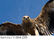 Купить «Орел», фото № 1064295, снято 18 апреля 2009 г. (c) Nickolay Khoroshkov / Фотобанк Лори