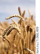 Купить «Колосья пшеницы крупно», фото № 1066499, снято 27 июля 2009 г. (c) Архипова Мария / Фотобанк Лори