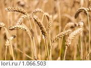 Купить «Пшеница», фото № 1066503, снято 27 июля 2009 г. (c) Архипова Мария / Фотобанк Лори