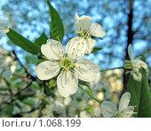 Купить «Ветка цветущей яблони», фото № 1068199, снято 3 мая 2008 г. (c) Светлана Кудрина / Фотобанк Лори