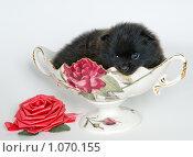Купить «Щенок породы шпиц», фото № 1070155, снято 1 июля 2009 г. (c) Vladimir Suponev / Фотобанк Лори