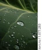 Капли воды на листе капусты. Стоковое фото, фотограф Конышев Александр / Фотобанк Лори