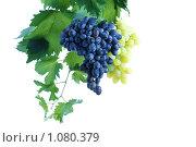 Купить «Грозди синего и зеленого винограда на фоне лозы с листьями», фото № 1080379, снято 26 августа 2008 г. (c) Александр Паррус / Фотобанк Лори