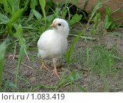 Важный цыпленок. Стоковое фото, фотограф Сотникова Екатерина / Фотобанк Лори