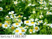 Ромашки (цветы) Стоковое фото, фотограф Ilogin / Фотобанк Лори