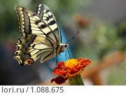 Купить «Бабочка махаон», фото № 1088675, снято 28 августа 2009 г. (c) Эдуард Магданов / Фотобанк Лори