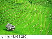 Купить «Рисовое поле», фото № 1089295, снято 4 августа 2009 г. (c) Ольга Хорошунова / Фотобанк Лори