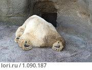 Купить «Белый медведь спит», фото № 1090187, снято 23 сентября 2008 г. (c) Надежда Болотина / Фотобанк Лори