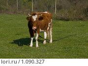 Купить «Рыжая корова на лугу», фото № 1090327, снято 11 апреля 2009 г. (c) Светлана Щекина / Фотобанк Лори