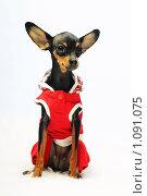 Купить «Собака в одежде баскетболиста», фото № 1091075, снято 11 июля 2009 г. (c) Данил Ефимов / Фотобанк Лори