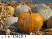 Урожай тыквы. Стоковое фото, фотограф Игорь Архипов / Фотобанк Лори