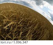 Купить «Пшеничное поле», фото № 1096347, снято 15 сентября 2009 г. (c) Andrey M / Фотобанк Лори