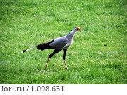 Птица секретарь. Стоковое фото, фотограф Оксана Шагова / Фотобанк Лори