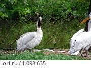 Пеликан зевает. Стоковое фото, фотограф Оксана Шагова / Фотобанк Лори