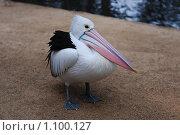 Пеликан позирует в зоопарке. Стоковое фото, фотограф Иван Новиков / Фотобанк Лори