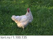 Домашняя курица. Стоковое фото, фотограф Василий Кореньков / Фотобанк Лори