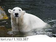Купить «Белый медведь купается», фото № 1103387, снято 11 августа 2009 г. (c) Наталья Наточина / Фотобанк Лори