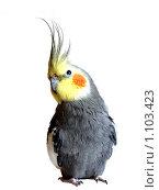 Попугай Корелла. Стоковое фото, фотограф Захарова Евгения / Фотобанк Лори